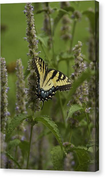 Swallowtail In Flower Field Canvas Print
