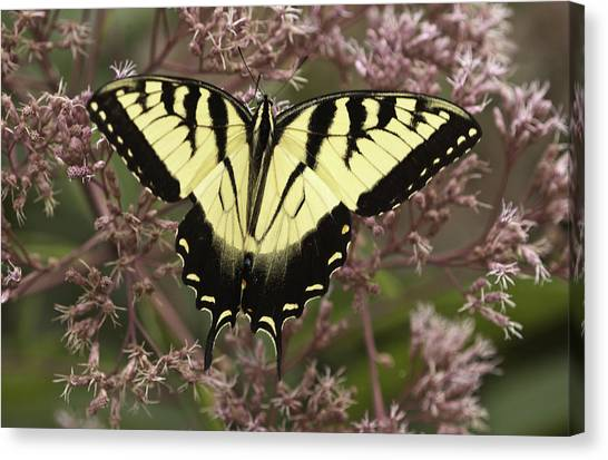 Swallowtail In Pink Canvas Print