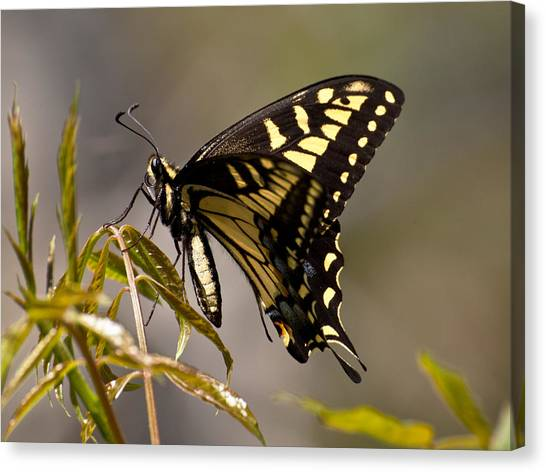 Swallowtail In Profile Canvas Print