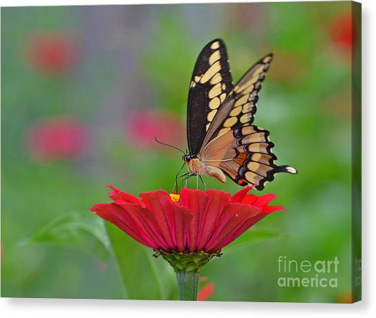 Swallowtail On A Zinnia Canvas Print