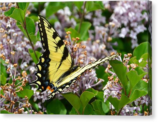 Swallowtail On Lilacs Canvas Print