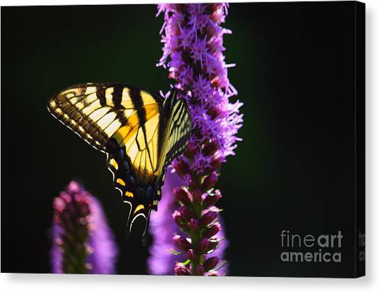 Swallowtail Tail Butterfly  Canvas Print