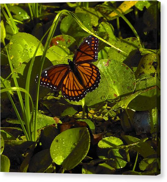 Swamp Butterfly Canvas Print