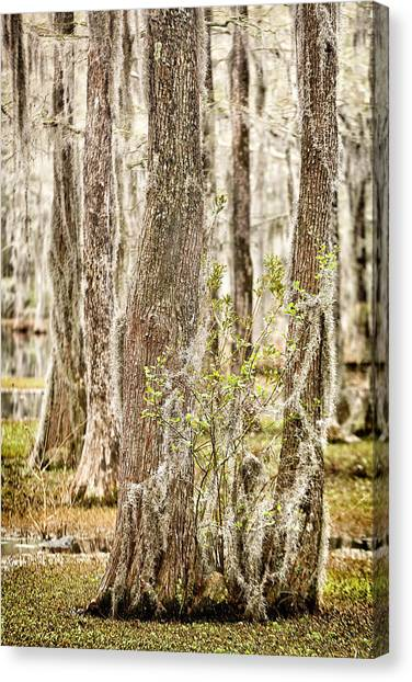 Swamp Trees Canvas Print
