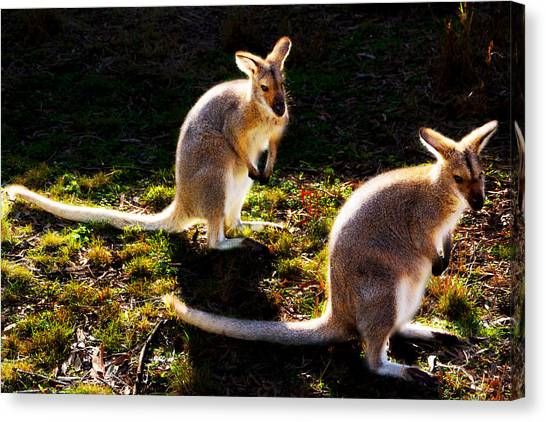 Red-necked Wallabies Canvas Print