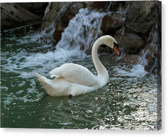 Swan A Swimming Canvas Print
