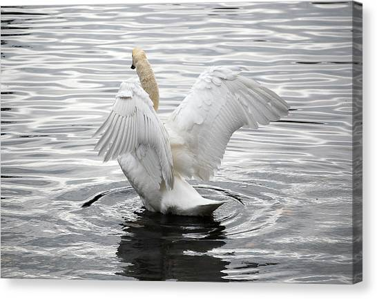 Swan Airing Out Wings 3 Canvas Print