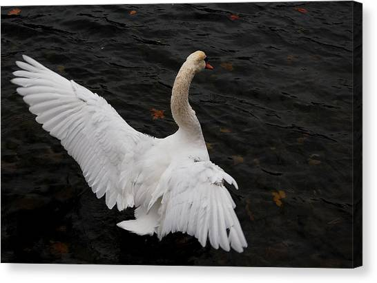 Swan Airing Out Wings Canvas Print