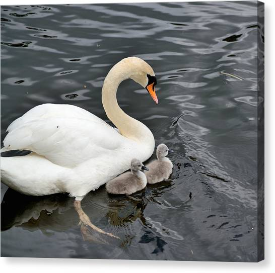 Swan And Cygnets Canvas Print