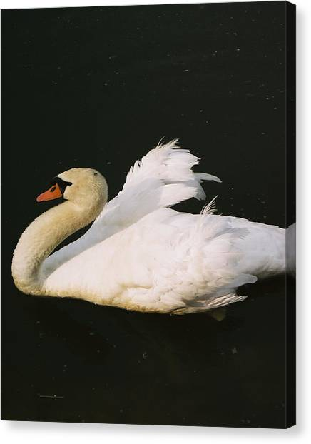 Swan At Rest Wil 115 Canvas Print