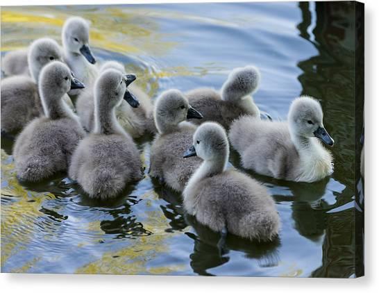 Swan Babies Canvas Print