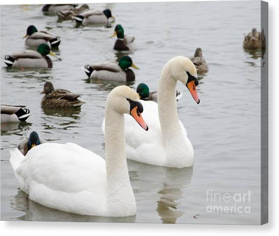 Swan Couple Canvas Print