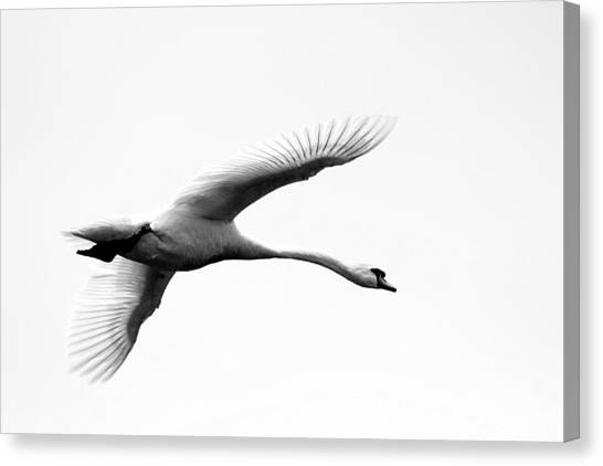 Swan In Flight Black And White Canvas Print by Diane Rada