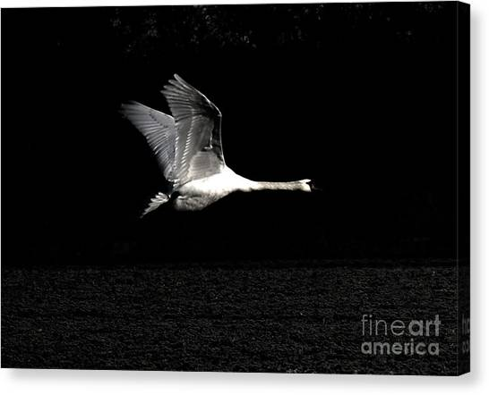 Swan In The Night Canvas Print