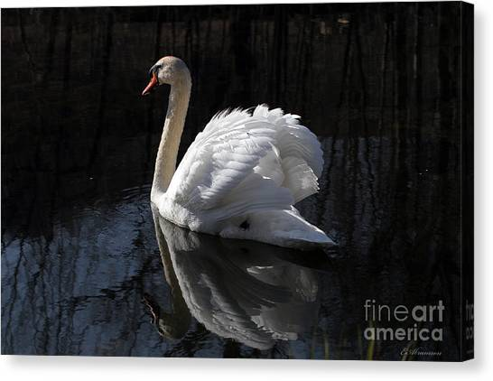 Swan With Reflection  Canvas Print