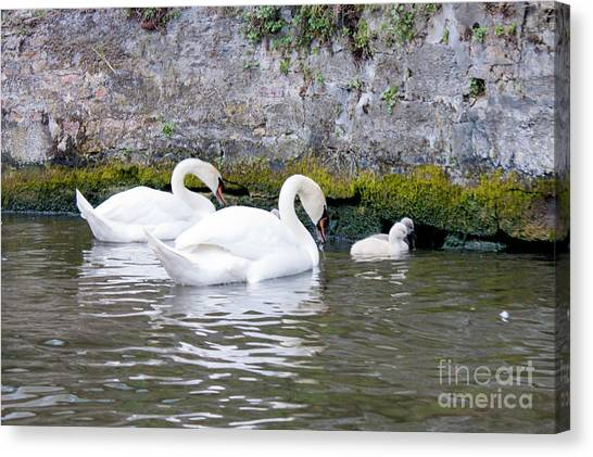 Swans And Cygnets In Brugge Canal Belgium Canvas Print