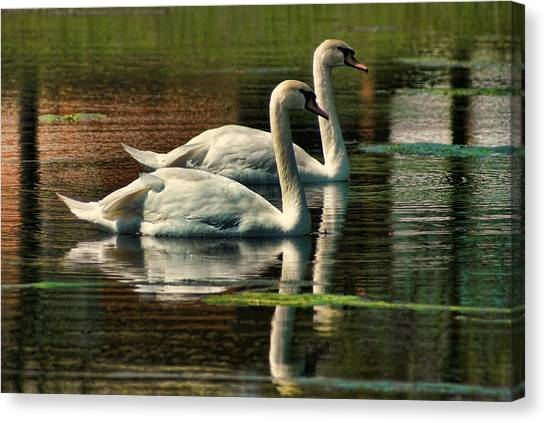 Swans Cruising Canvas Print