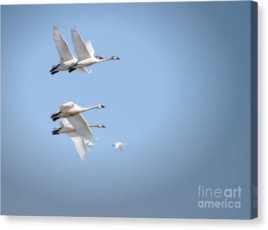 Swans In Flight Canvas Print