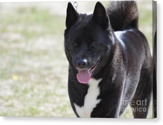 Sweet Akita Dog Canvas Print