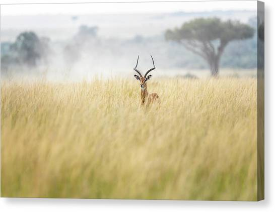 Kenyan Canvas Print - Sweet And Lovely Impala In Masai Mara by Lucie Bressy