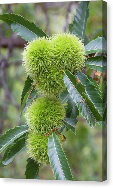 Fruit Trees Canvas Print - Sweet Chestnut Fruit And Leaves by Dr Juerg Alean