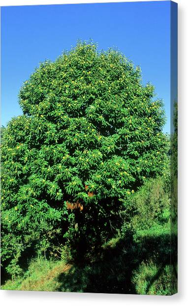Sweet Chestnut Tree (castanea Sativa) Canvas Print by Bruno Petriglia/science Photo Library