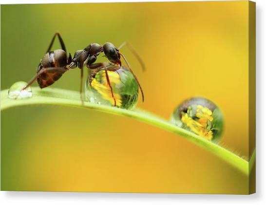 Ants Canvas Print - Sweet Dew by Liangdawei