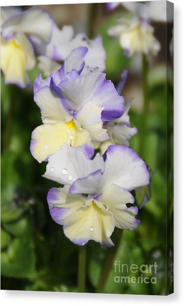 Sweet Pansy Canvas Print