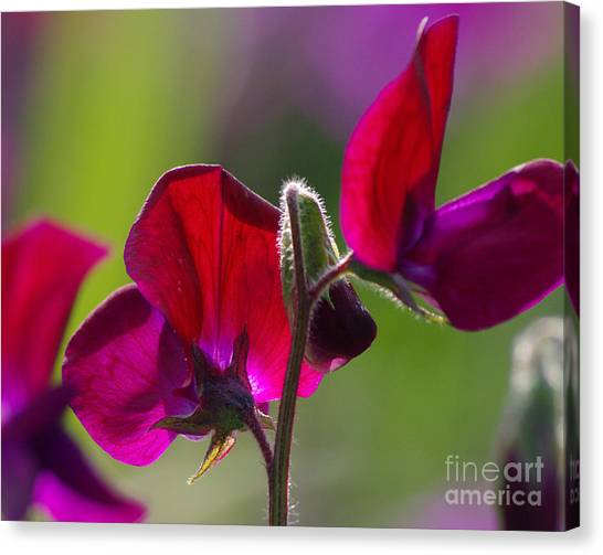 Sweet Pea  2.1788 Canvas Print