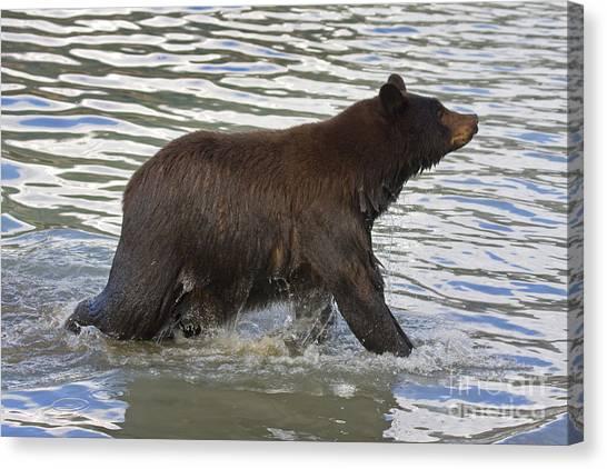 Black Bears Canvas Print - Swim Anyone? by Mike  Dawson