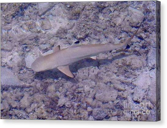 Black Tip Sharks Canvas Print - Swimming Anyone by Lew Davis