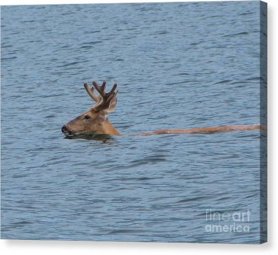Swimming Deer Canvas Print