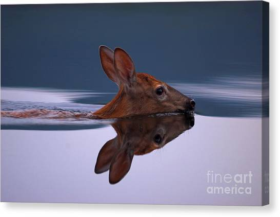 Swimming Fawn Canvas Print