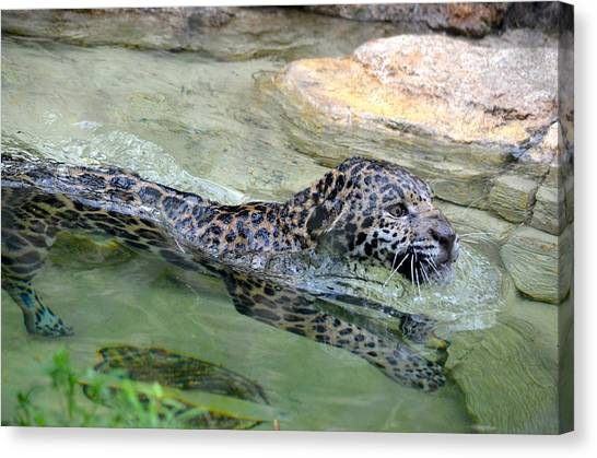 Jacksonville Jaguars Canvas Print - Swimming Jaguar by Richard Bryce and Family