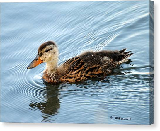 Swimming Mallard Hen Canvas Print