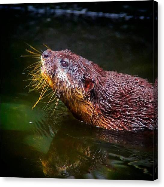 Otters Canvas Print - Swimming by Rahman Galela