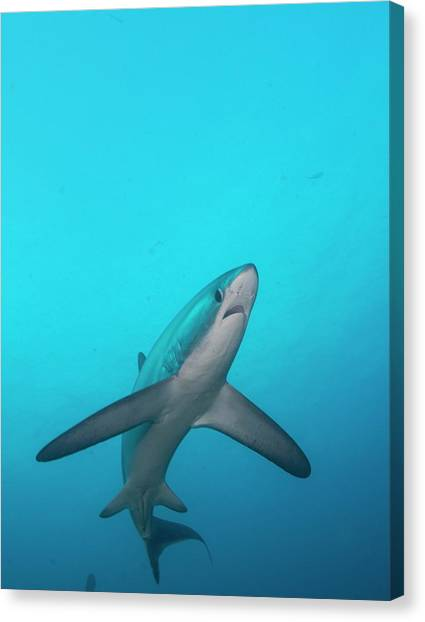 Sharks Canvas Print - Swimming Thresher Shark by Scubazoo