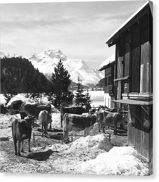 Horse Farms Canvas Print - Snowy Springtime In St. Moritz by Reed Alexander