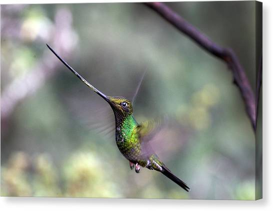 Sword-billed Hummingbird Hovering Ecuador Canvas Print