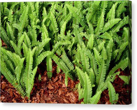 Aac Canvas Print - Sword Fern (nephrolepis Exaltata) by Sally Mccrae Kuyper/science Photo Library