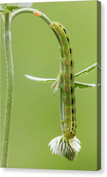 Sword-grass Caterpillar Canvas Print by Heath Mcdonald