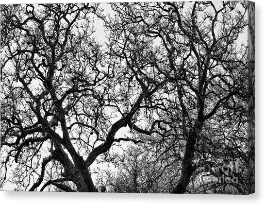 Sycamore And Sky Canvas Print