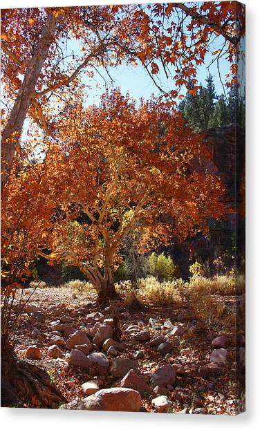 Sycamore Trees Fall Colors Canvas Print