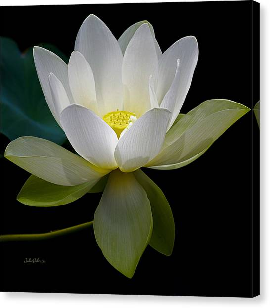 Symbolic White Lotus Canvas Print