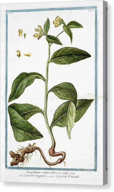 Symphytum Majus Canvas Print by Rare Book Division/new York Public Library