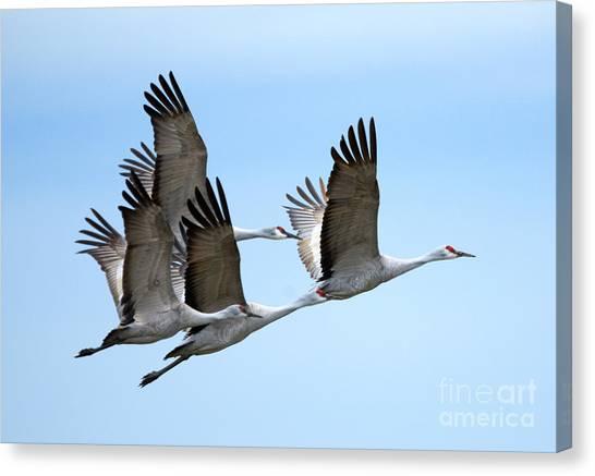Sandhill Crane Canvas Print - Synchronized by Mike Dawson