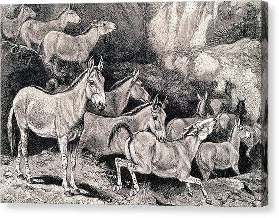Syrian Canvas Print - Syrian Wild Asses by George Bernard/science Photo Library