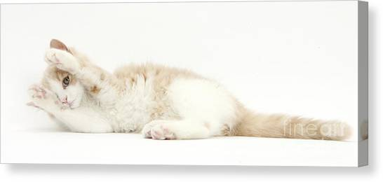 Siberian Cats Canvas Print - Tabby Siberian Kitten by Mark Taylor
