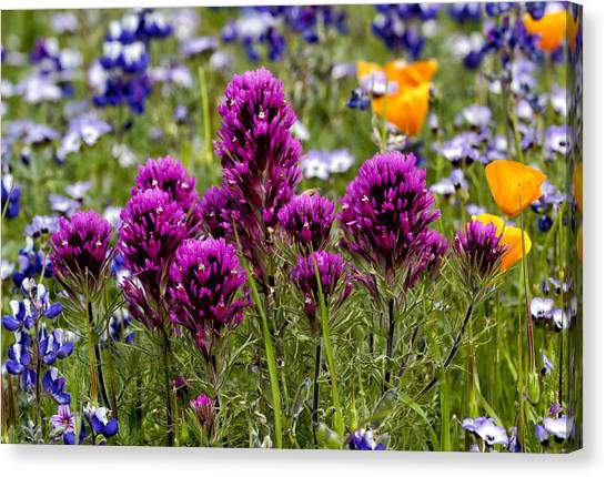 Table Mountain Beauties Canvas Print