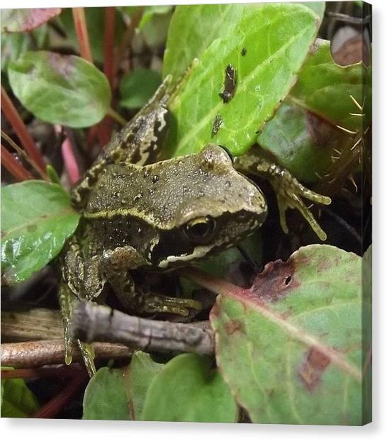Scotty Canvas Print - #tagforlikes #follow4follow #frog by Scotty Sm